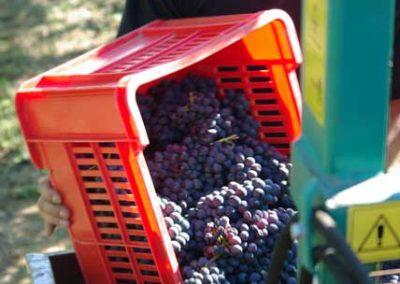 cassetta-uva-vendemmia-franco-francesco-vini