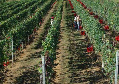 filari-vendemmia-franco-francesco-vini