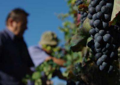 grappoli-in-vingna-vendemmia-franco-francesco-vini