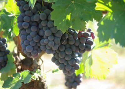 grappolo-vendemmia-franco-francesco-vini