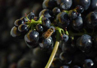 uva-ape-vendemmia-franco-francesco-vini