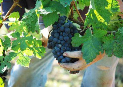 uva-vendemmia-franco-francesco-vini